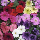 Petunias Supplied in Trays
