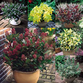 Premium Shrub Collections