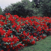 Hedging and Shrub Roses