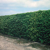 Hedging Plants and Shrubs