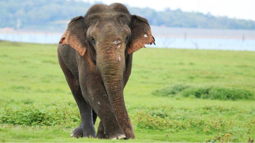 Asian Elephant in Sri Lanka Elephant orphanage