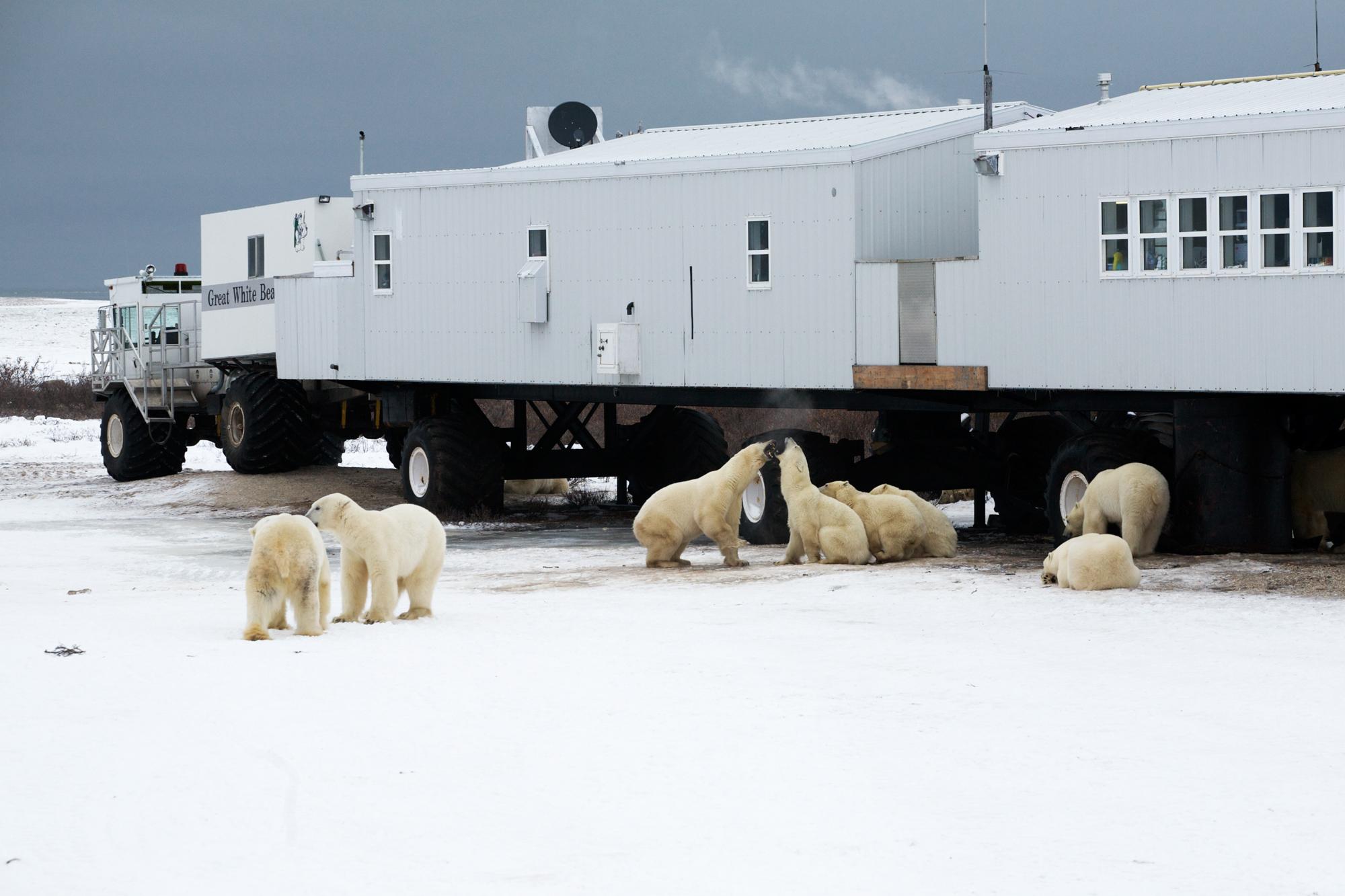Tundra Lodge with Polar Bears playing