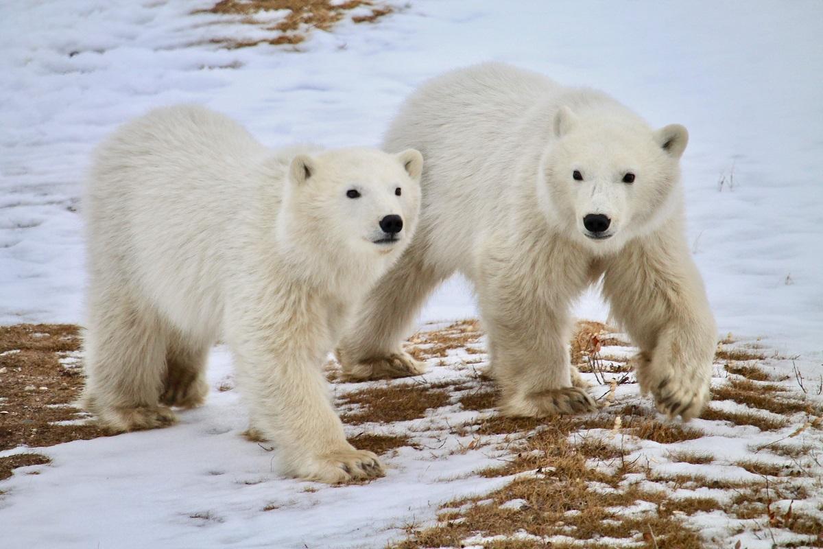 Polar bear cubs at Tundra Lodge Polar Bear Adventure
