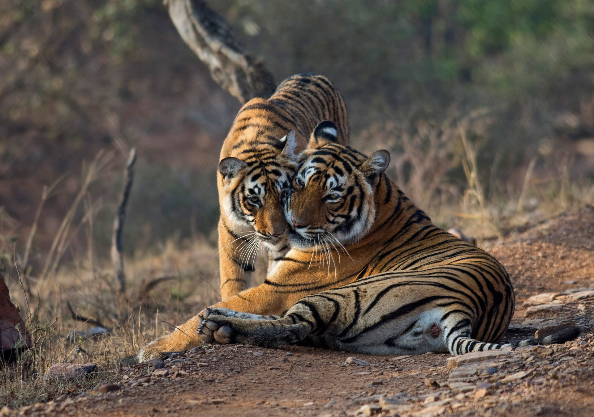 pair of tigers in the wild at ranthambore