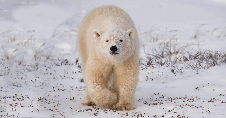 polar bear in snow at tundra polar bear lodge