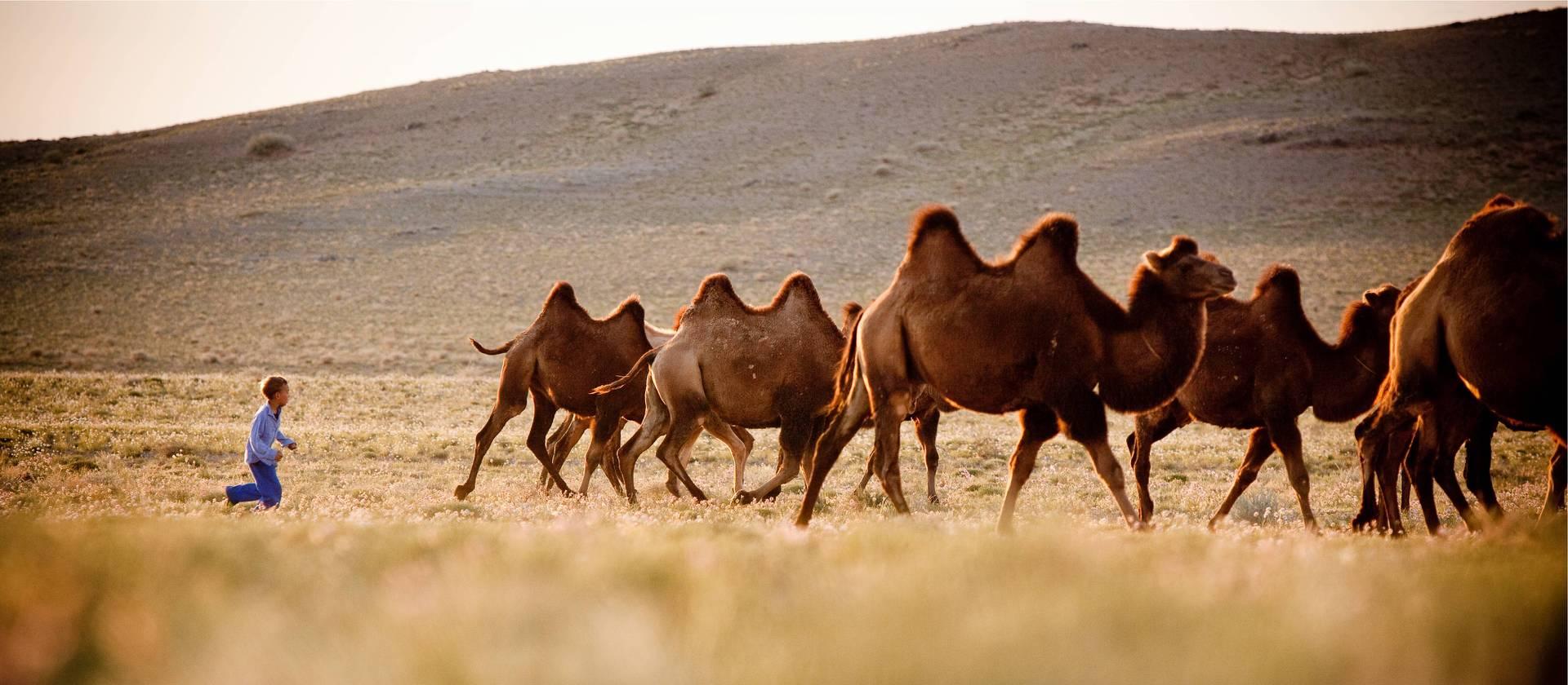 little boy with camels on gobi desert trek