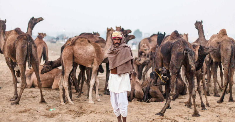 man and camels at pushkar camel fair