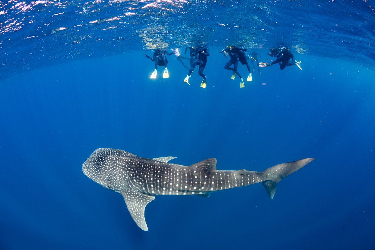 divers swimming with whale shark below them