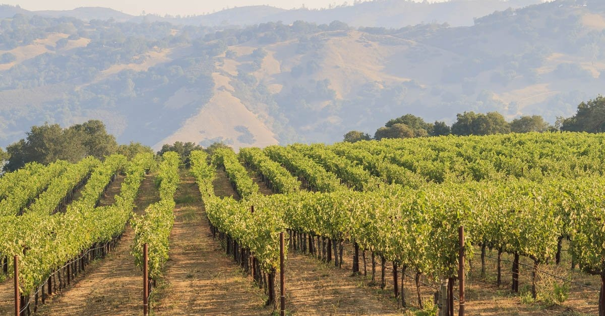 rows of grapes in napa and sonoma vineyard