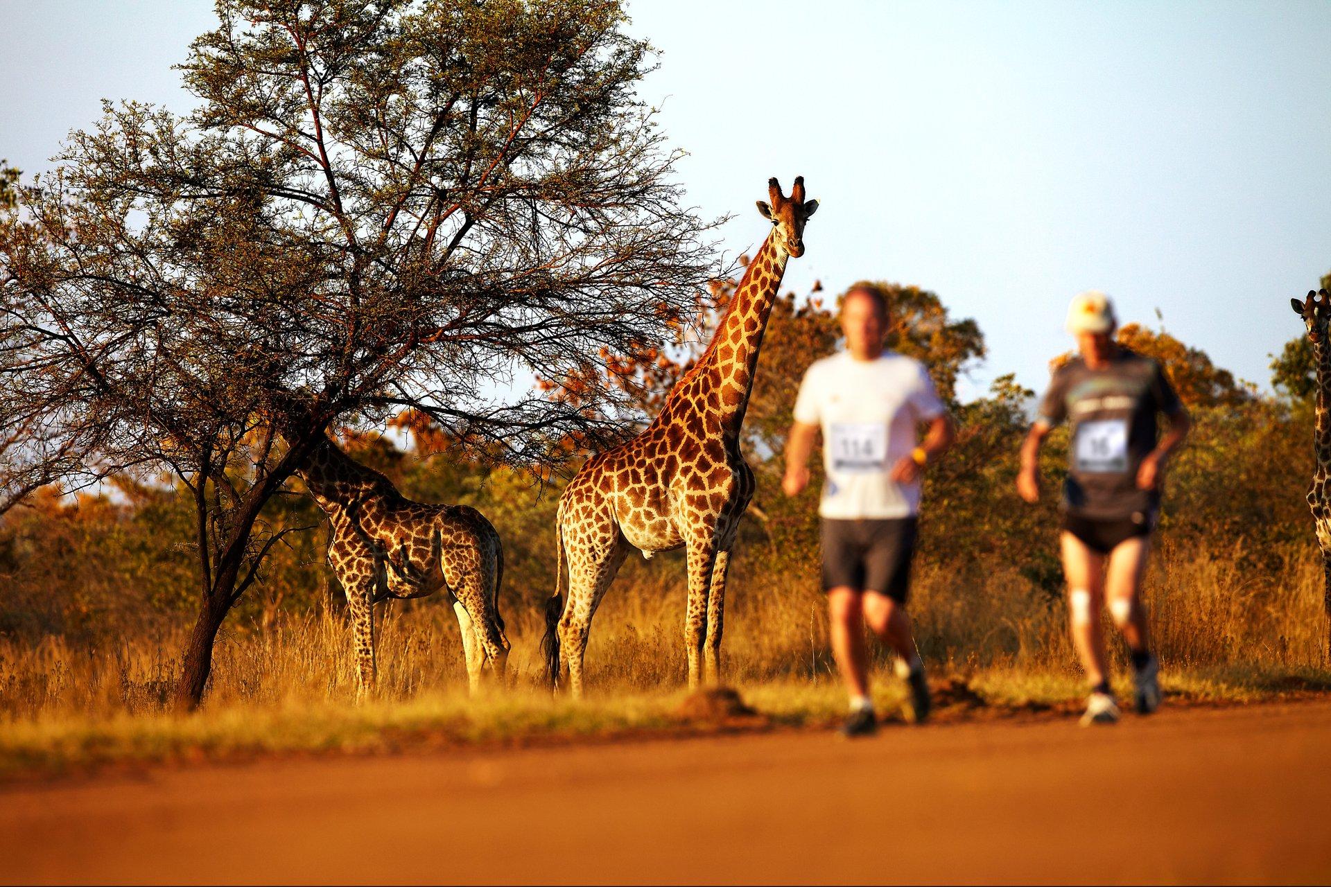 giraffes watching big 5 marathon runners
