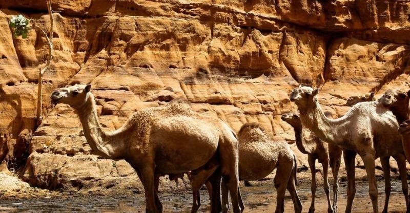 camels in ennedi desert