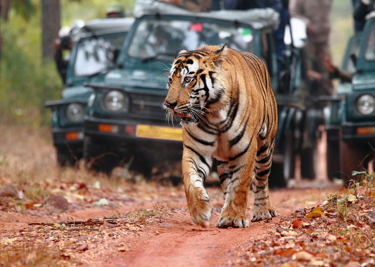 tigers in the wild with safari truck behind at ranthambore.jpg