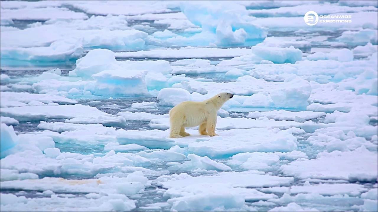 polar bear in pack ice on north spitsbergen tours
