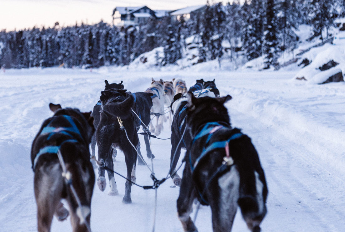 sled dogs in the snow