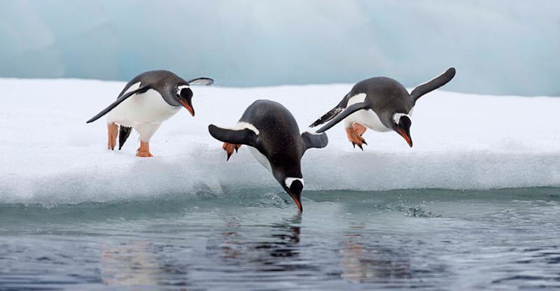 penguins diving on antarctica photography tour