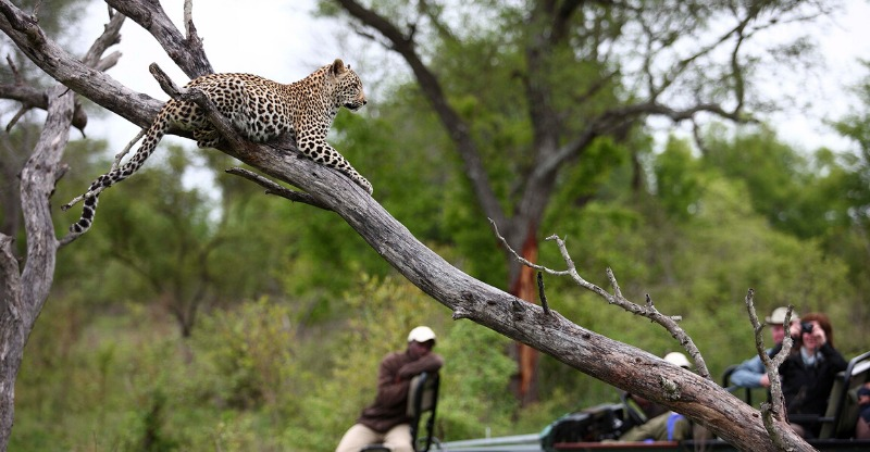 Leopard laying in a tree at the Sabi Sand Game Reserve