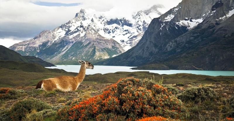 Alpaca in the foreground of the Chilean mountains