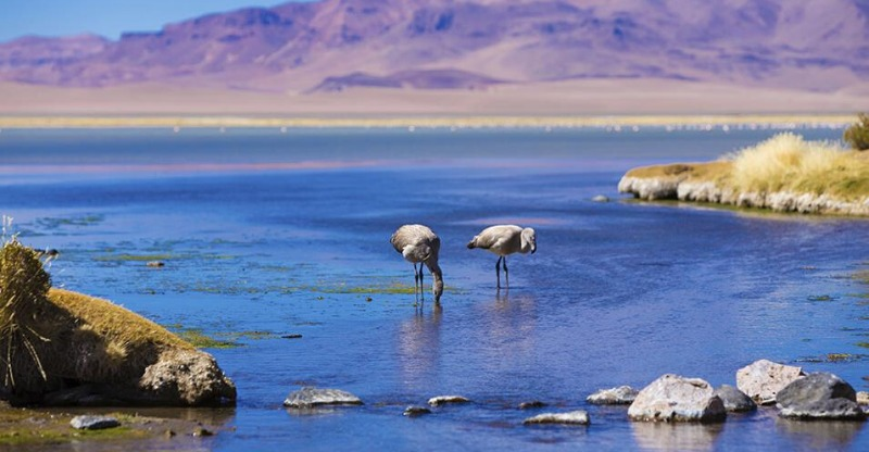 Two flamingos in the beautiful blue waters of Chile