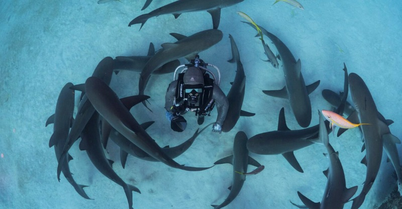 Shark Handling Experience a circulating wall of sharks around the diver