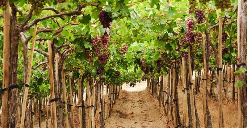 Grape vines Luxury Chile Tour