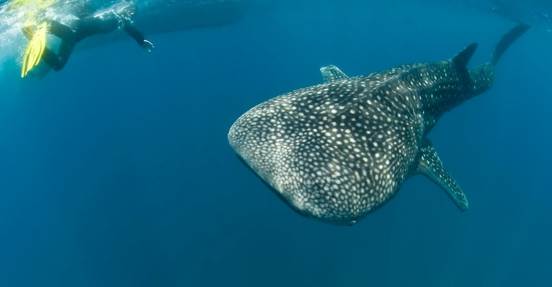 Diving with whale sharks at Ocean Safari Mozambique
