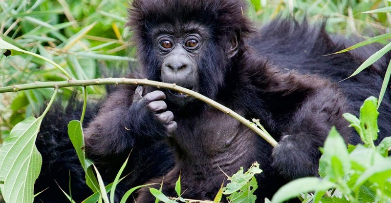 A baby Gorilla gnawing a branch