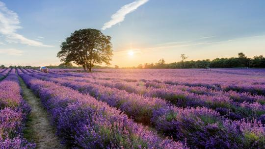 lavender farm, london, surrey