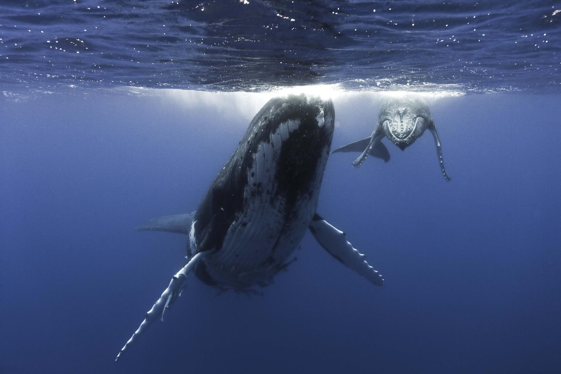 HUMPBACK MOTHER & CALF_TONGA_ PHOTO COURTESY OF GEORGE DUFFIELD