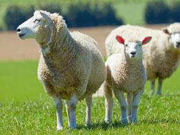 Sheep & Lambing