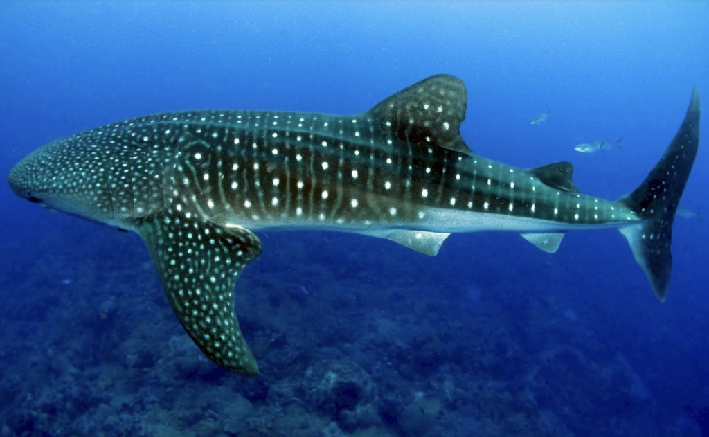 Whale Sharks are the largest fish in the sea and only eat small fish