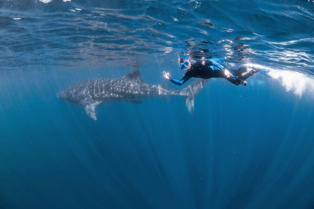 Swimming with whale sharks at Ningaloo Reef, WA