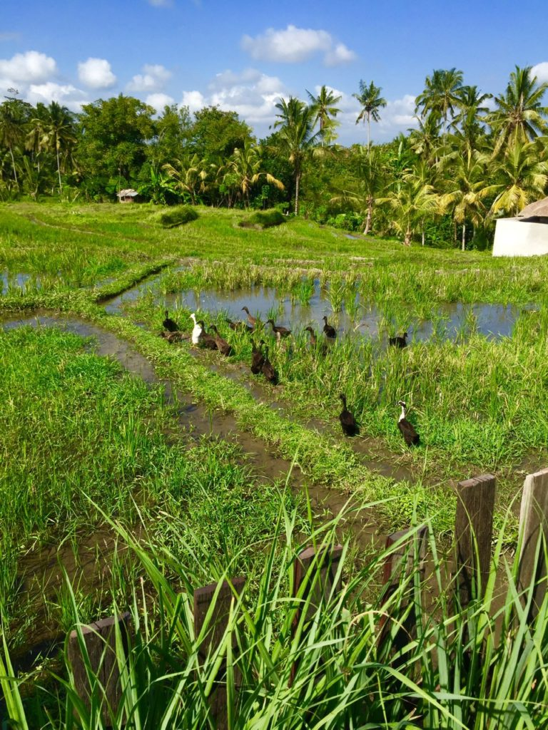Rice terraces and ducks in Bali