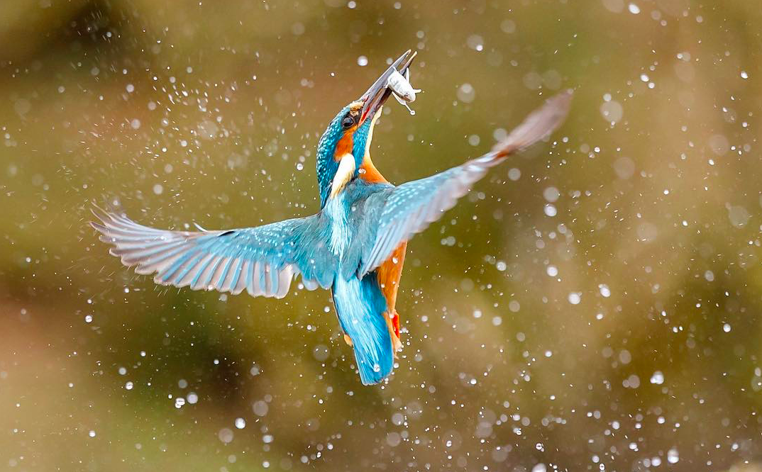 Kingfisher and it's catch, Terry Grove