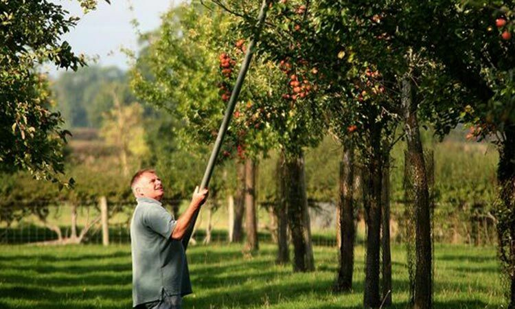 Allen harvesting apples with a panking pole