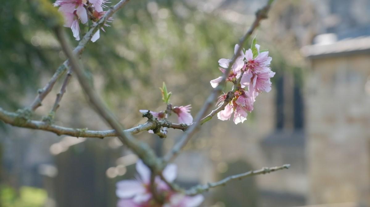 Blossom in St Olave's Churchyard