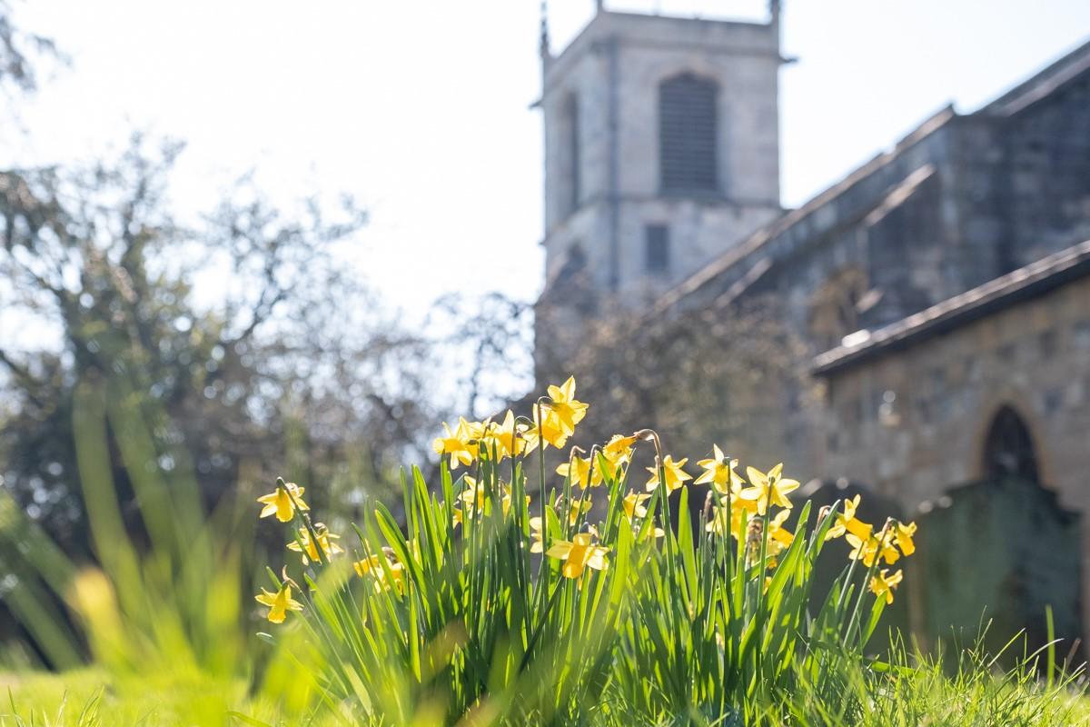Daffodils in St Olave's Churchyard
