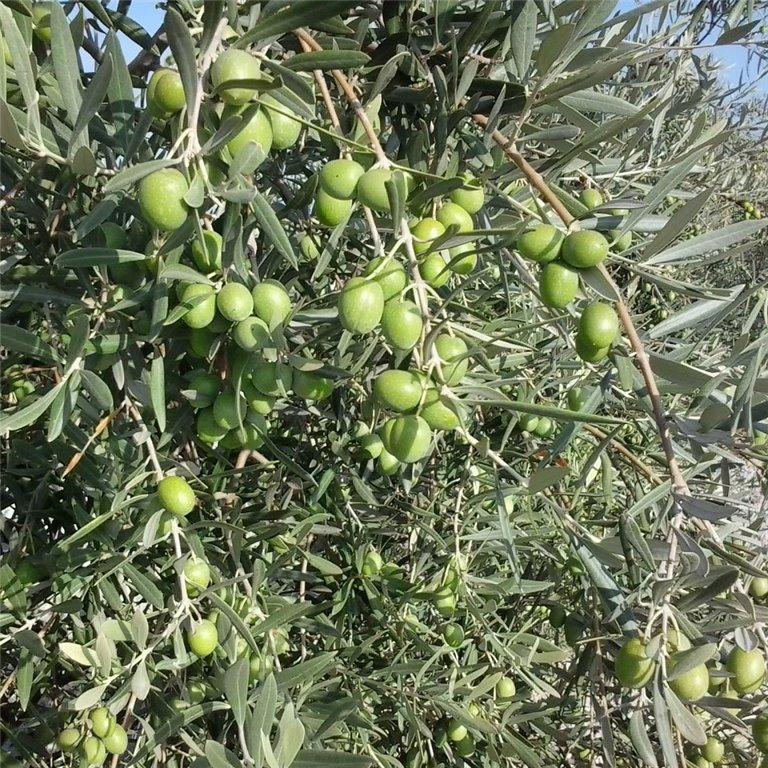 ir a Aceite de oliva BIO