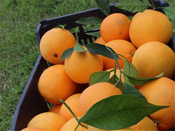 Caja 10kg naranjas Navel Powell