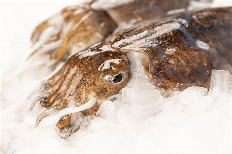 Galician cuttlefish (cuttlefish)