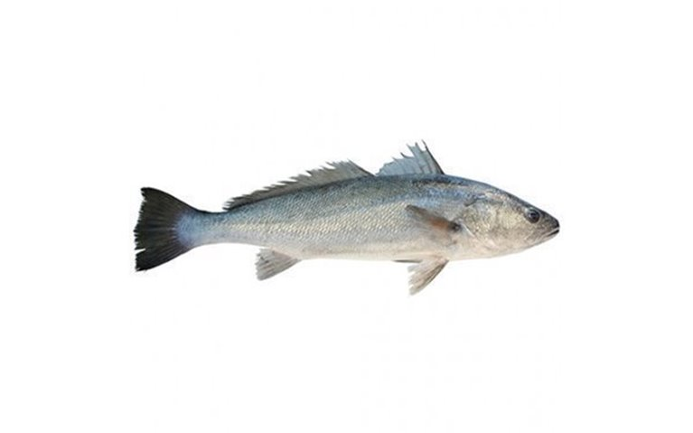Corvina, 1,96 kg