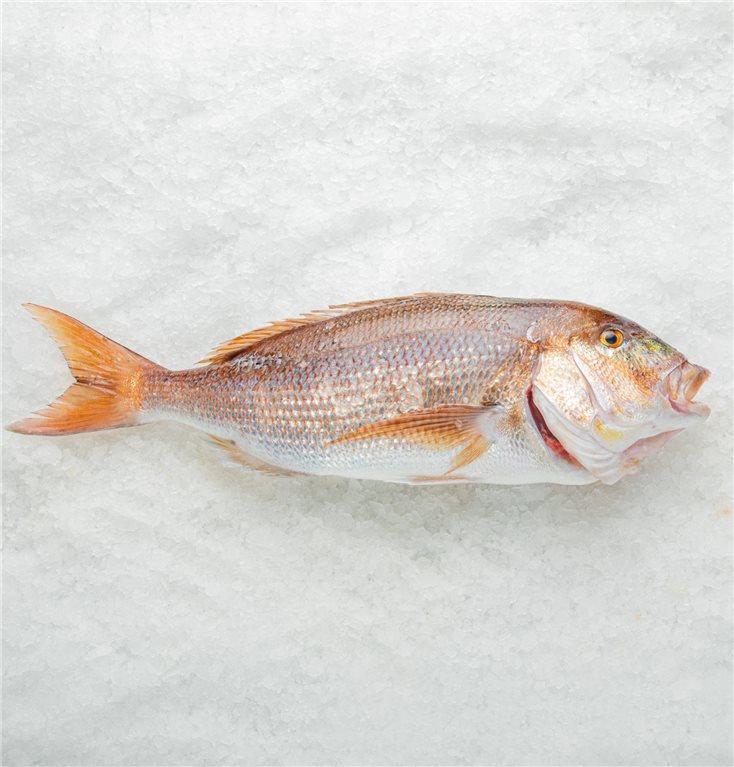 Dentex or coastal sap