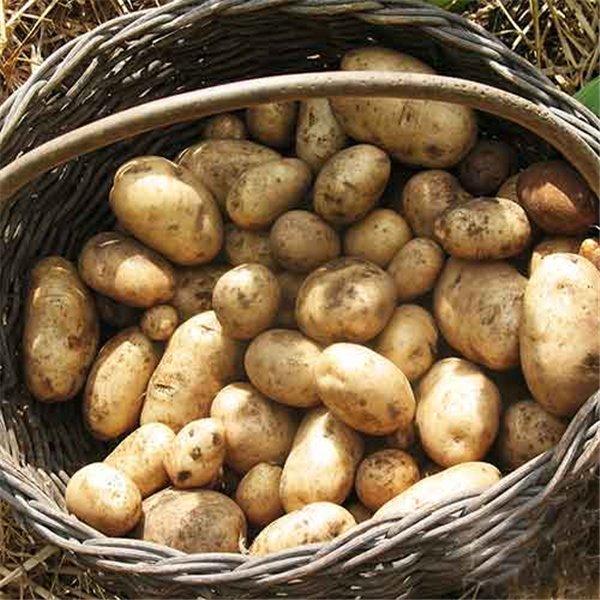 Patata agria saco 25 Kg