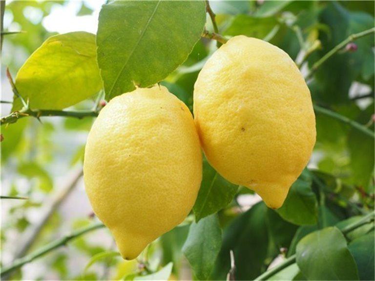 Limones primofiori de Murcia (España) - caja 10 kg