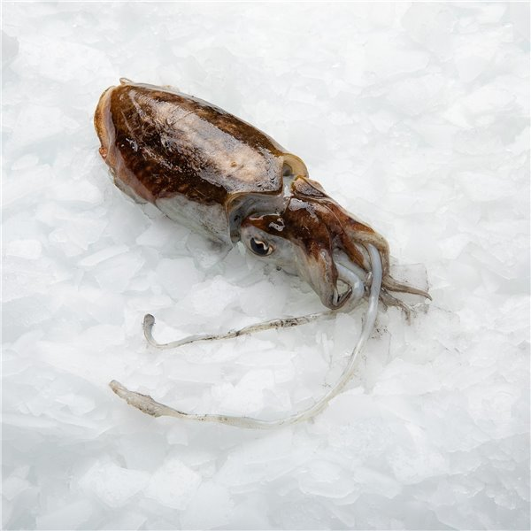 Coastal Cuttlefish