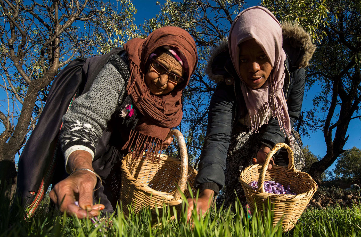 Female labourers pick saffron flowers in Taliouine