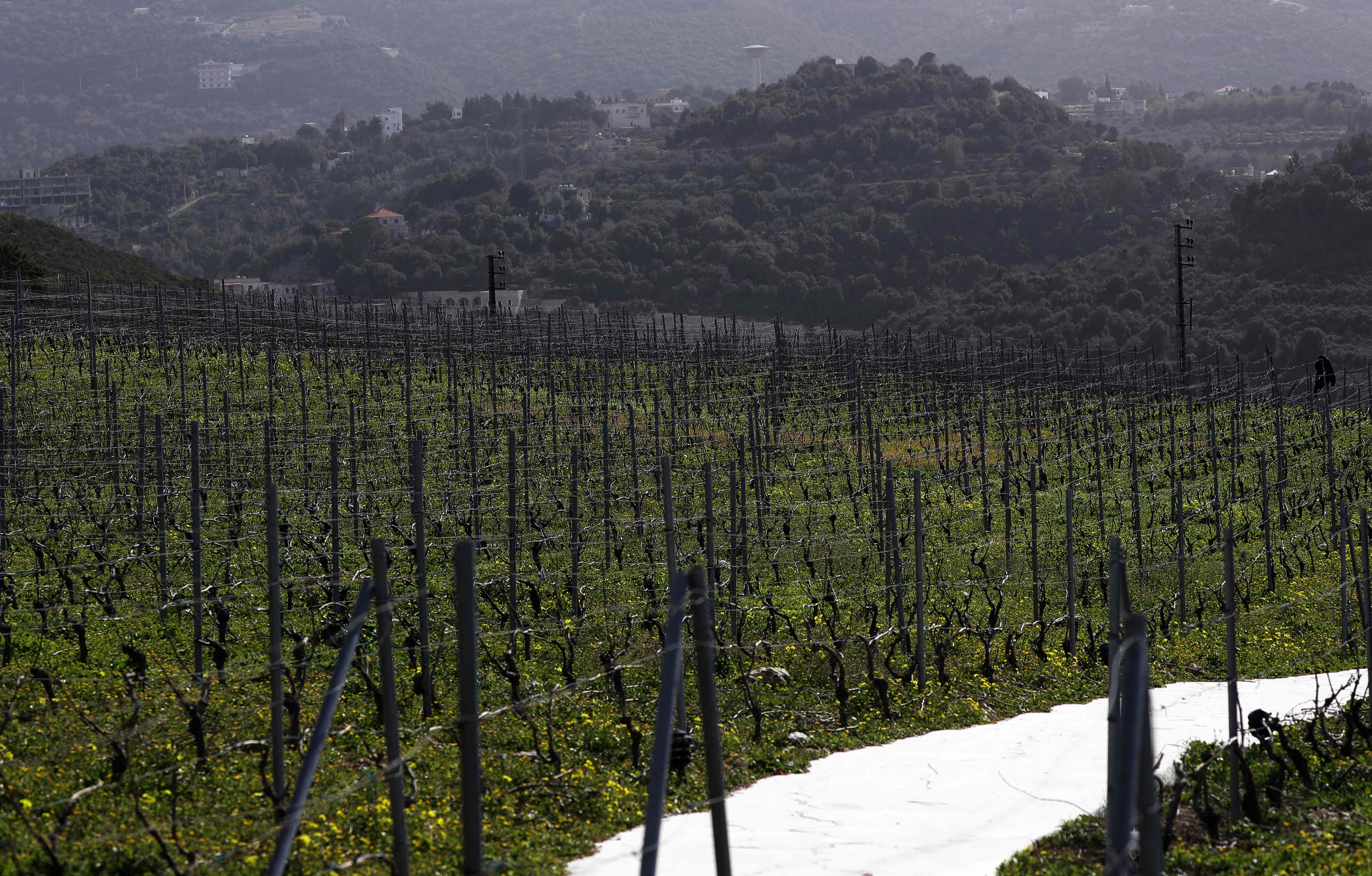 A general view shows the vine terraces of Lebanon's Ixsir winery, co-founded by the detained businessman of Lebanese origin Carlos Ghosn, in an agricultural region above the coastal town of Batroun, north of the Lebanese capital Beirut, on January 25, 2019.