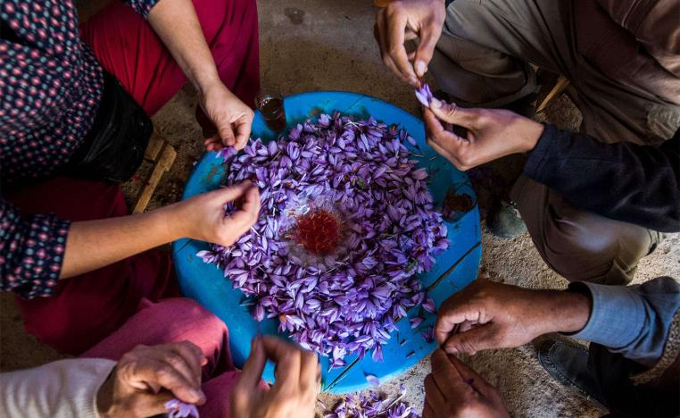 Workers sort and clean saffron flowers during its processing in the Taliouine region