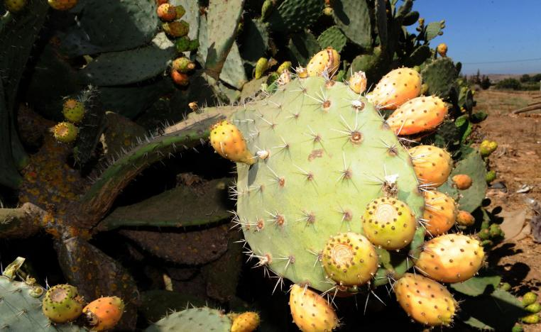 Photo taken on August 6, 2011 shows a prickly pear or barbary fig tree in the Moroccan region of Skhour Rhamna region near Marrakech.