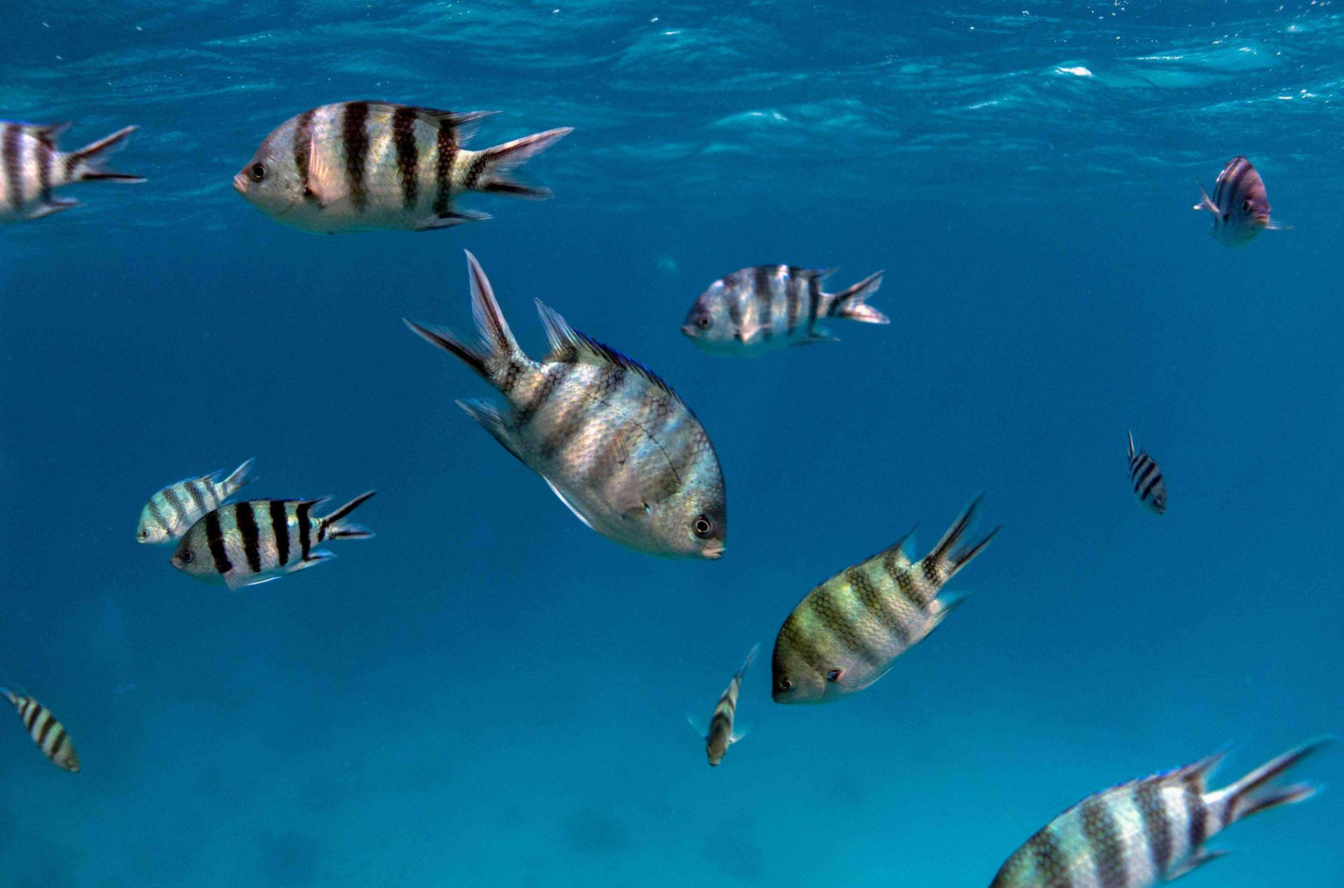 This picture taken on September 7, 2018 shows a male Sergeant major fish (Abudefduf saxatilis) swimming in the Egyptian Red Sea marine reserve of Ras Mohamed, off the southern tip of the Sinai peninsula
