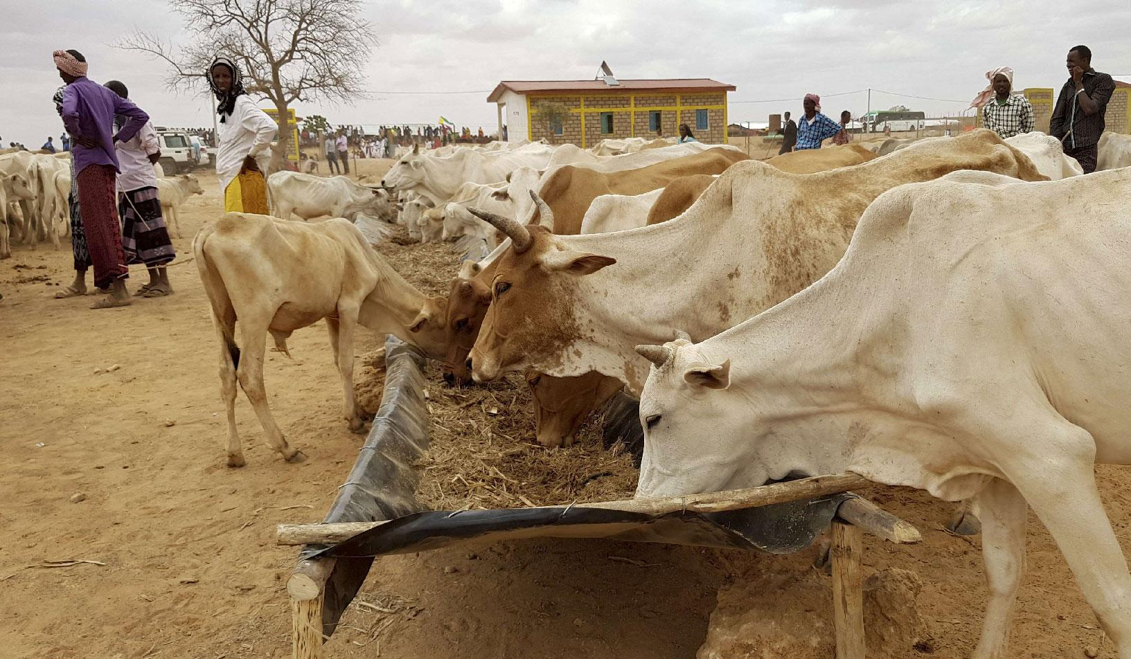 Ethiopian pastoralists feed their cattle.